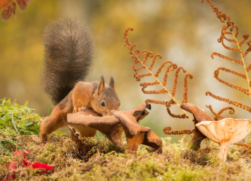 red squirrel standing with mushroom